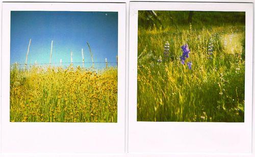 fiddleneck and wild delphinium