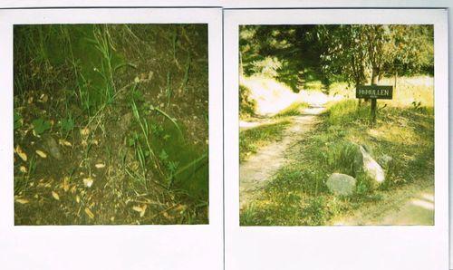 goldback fern