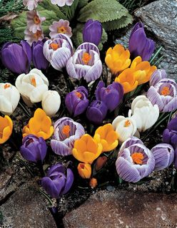 giant crocus